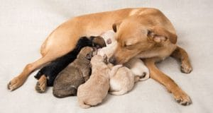 Mother dog feeds and takes care of her puppies