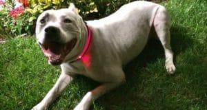 white pitbull with led collar