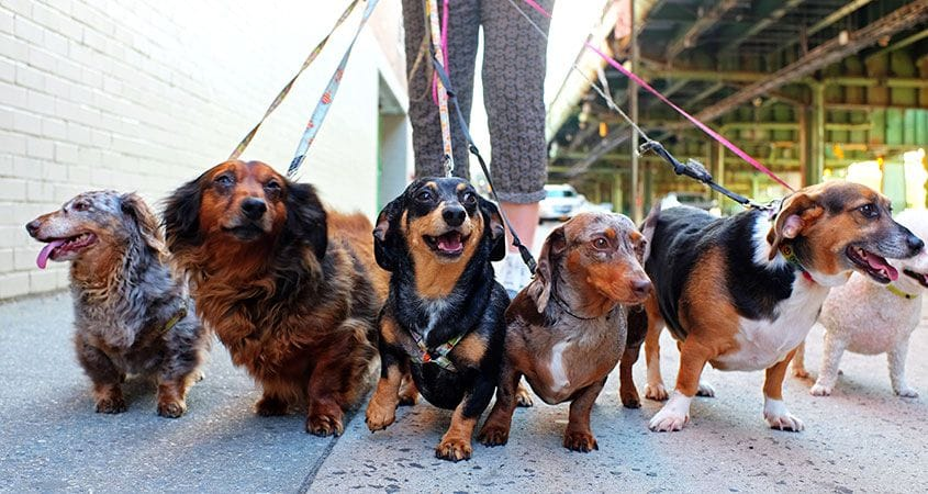 6 Tips For Mastering The Dog Walk | Cesar's Way
