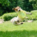 A Hyper Jack Russell Terrier
