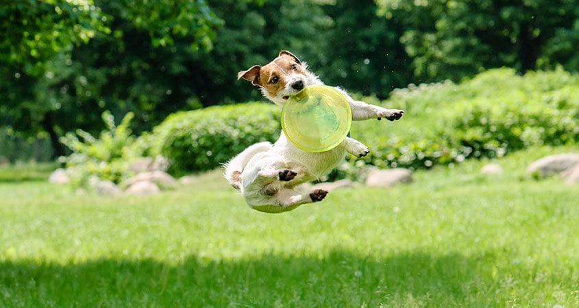 A Hyper Jack Russell Terrier Letter To Cesar Cesar S Way