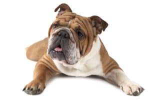 The History Of Bulldogs Cesar S Way