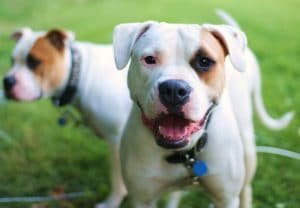 How Did Pit Bulls Get Such A Bad Rap? | Cesar's Way