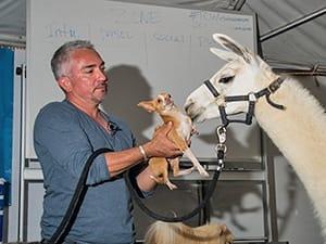 Cesar Millan with a dog and llama