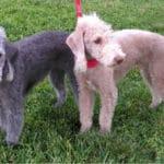 Bedlington Terrier Breed