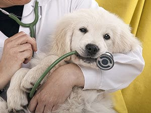 white puppy with vet | cesar's way