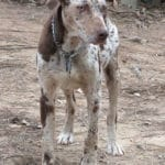 Catahoula Leopard Dog Breed