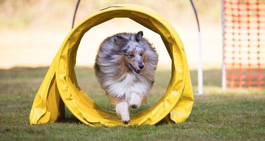 dog runs through play tunnel
