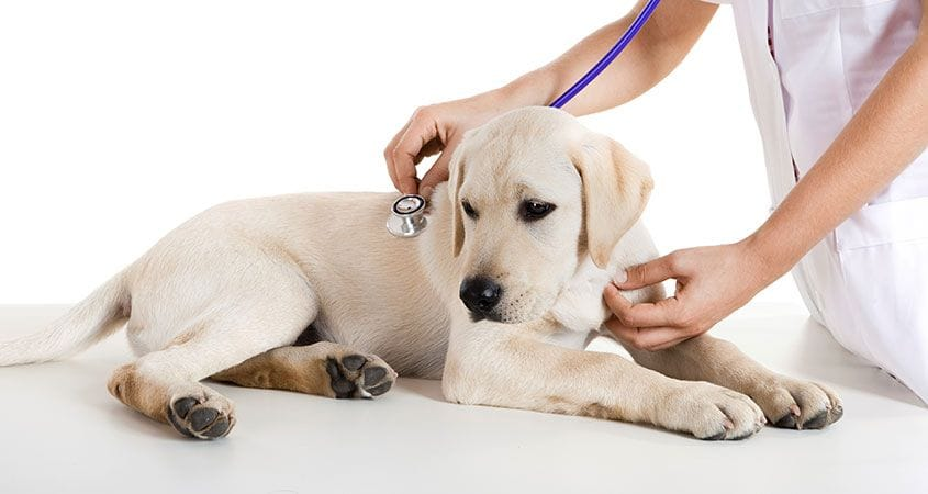 Dogs And Chronic Vomiting Causes And Treatments Cesar S Way