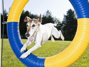 dog jumps through hoop in obstacle course