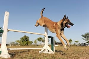 Dog clearing hurdle