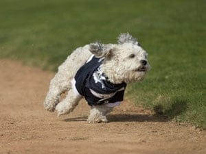 Hank the Brewers dog takes a run around the field