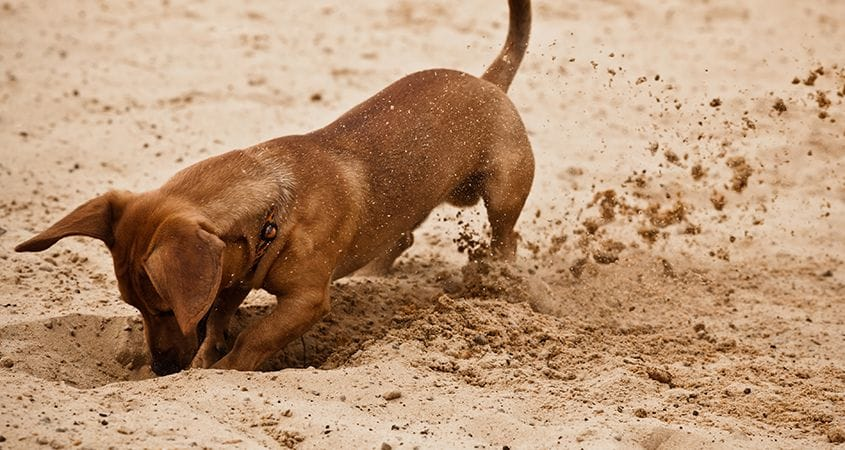How Can I Get My Dogs To Stop Digging? | Cesar's Way