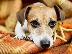 How To Recognize And Handle Dog Seizures   Cesar's Way