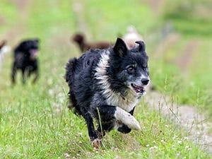 black and white dog running in dog park