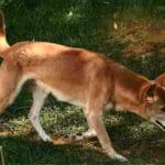 New Guinea Singing Dog Breed