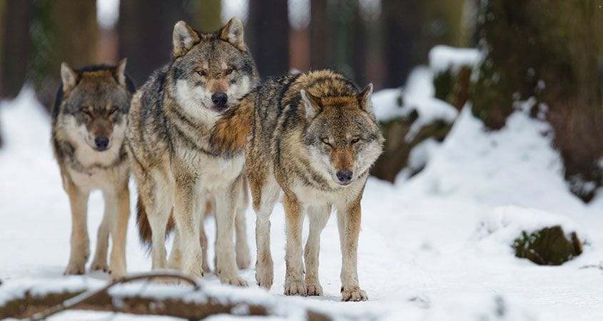 wolves-in-the-wild-travel-in-a-pack