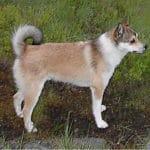 Norwegian Lundehund Breed