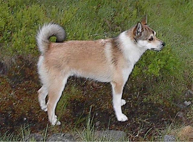 Norwegian-Lundhund photo