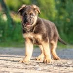 Protecting Your Puppy From The Parvovirus