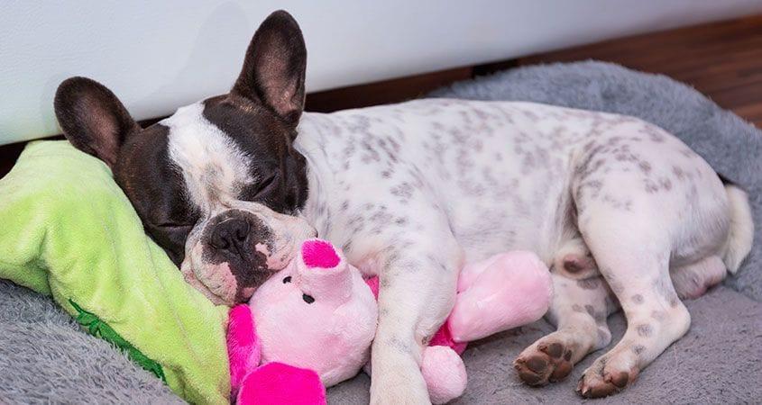 Sleeping Arrangements For Puppies | Cesar's Way