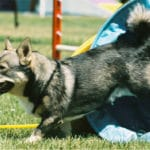 Swedish Vallhund Breed