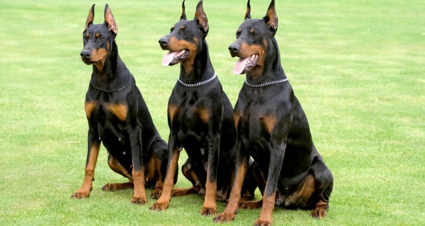 Top 10 Best Guard Dogs