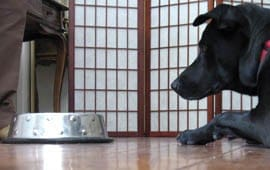 dog waiting for meal