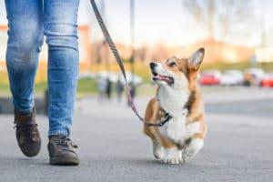 corgi on a walk careers for dog lovers