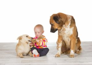 Dog is jealous of new puppy playing with a baby in the house.