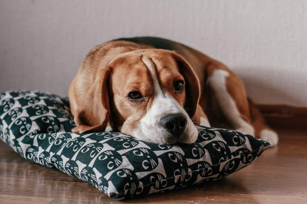 dog on pillow