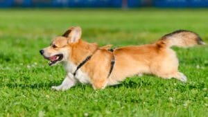 dog running through grass Cesar's Way