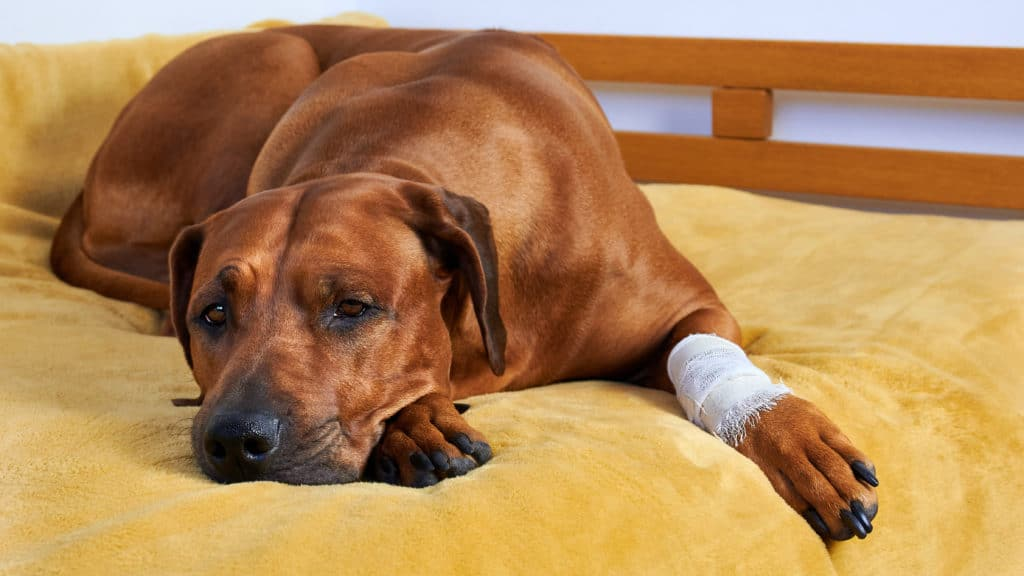 dog with bandage from first aid kit