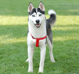 front view of a siberian husky - cesar's way