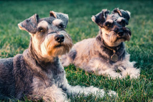 hot spots on dogs - cesar's way