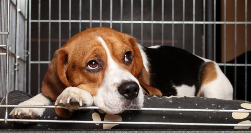 beagle in crate