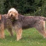 Otterhounds Breed Profile