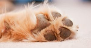 paw pad injuries in dogs - cesar's way