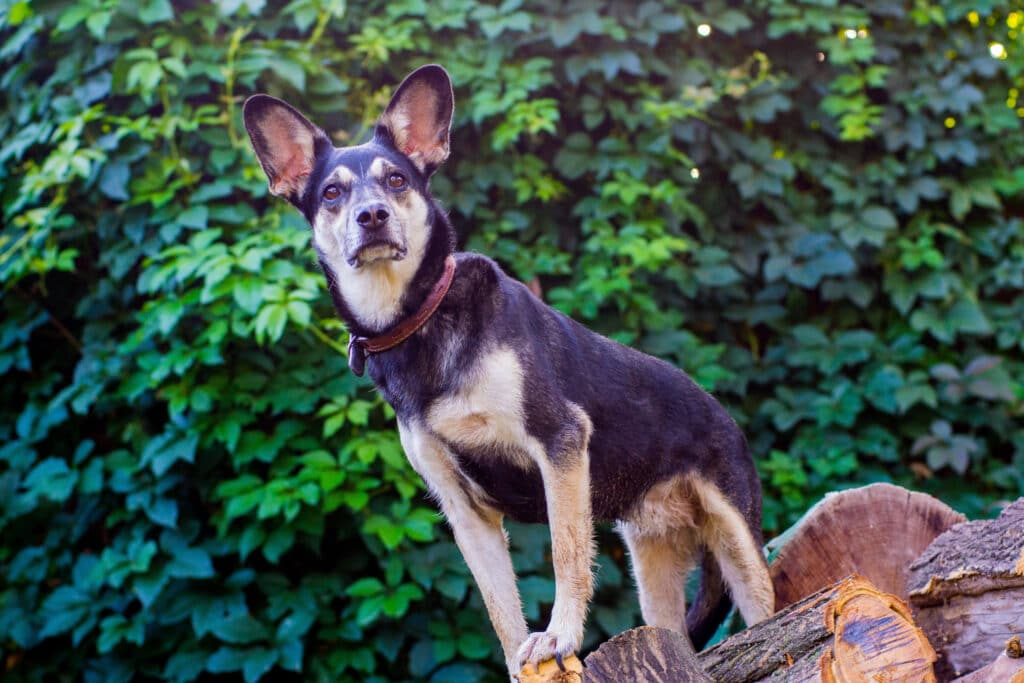 dog-stands-proud-and-renewed-on-pile-of-wood