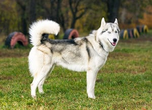 side view of a siberian husky - cesar's way
