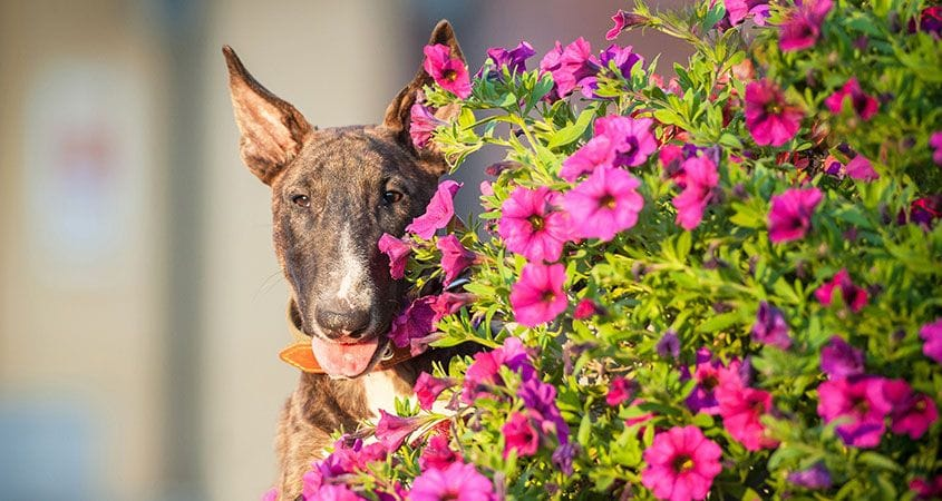 Garden Dangers For Dogs Cesar S Way