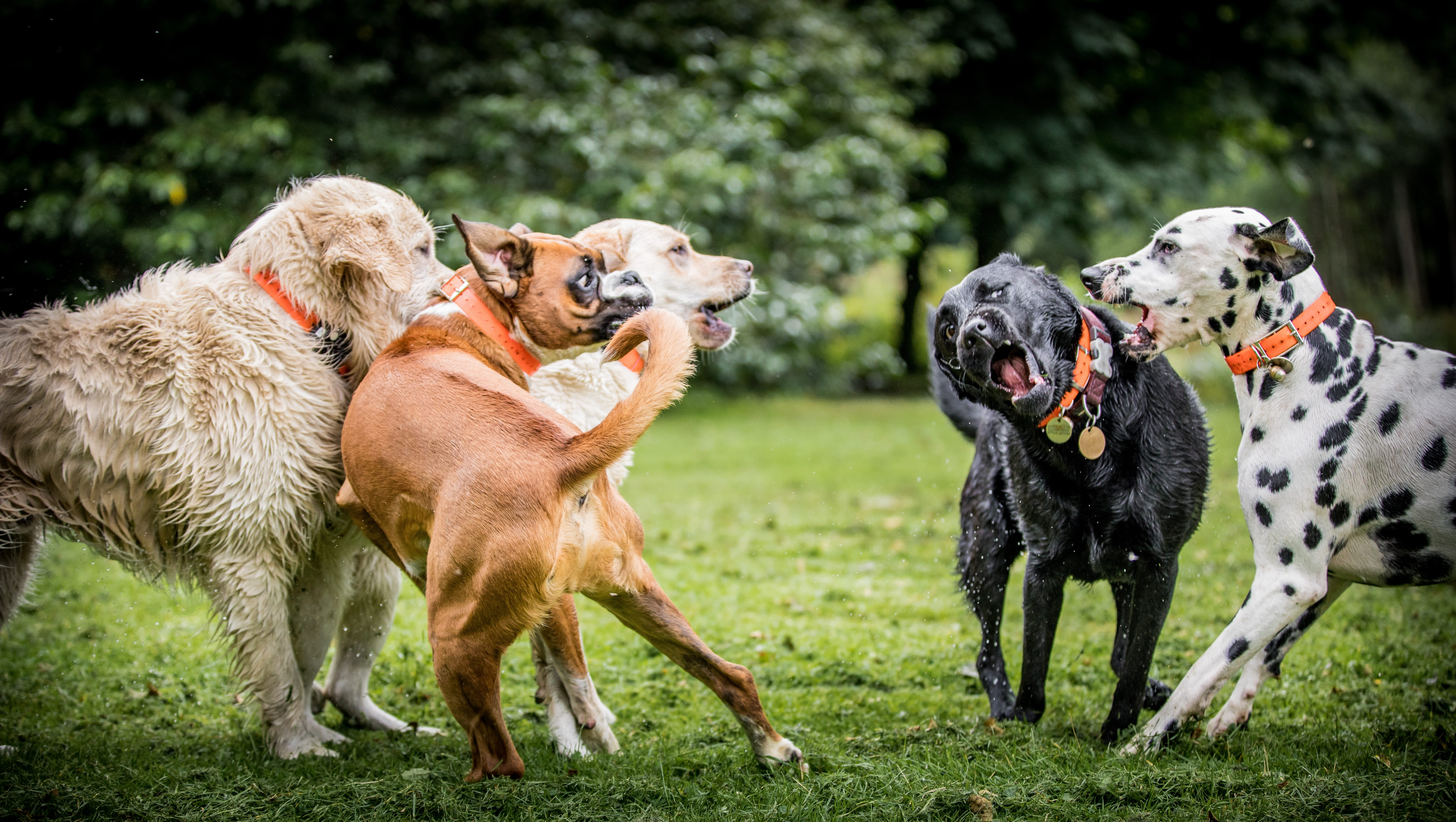 How To Tell Which Dog Is Alpha Dog Pack Hierarchy Cesar S Way
