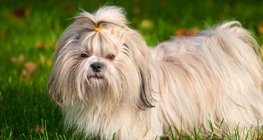 Learn About The Shih Tzu Breed Cesar