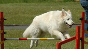 white german shepherd jumps obstacle