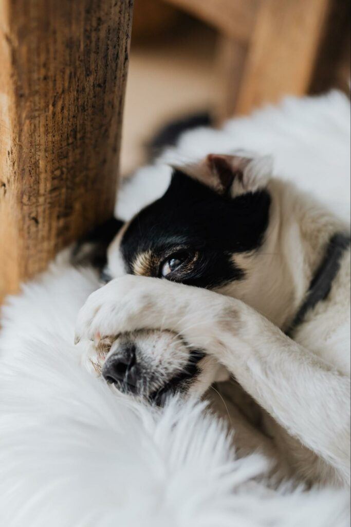 playful puppy covers his nose, allergies can wreak havoc on dogs