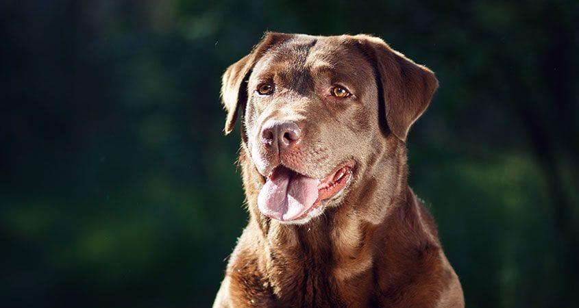 Top 10 Smartest Dog Breeds Most Intelligent Dogs Cesar S Way