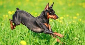 Top 10 Smartest Dog Breeds | Most Intelligent Dogs | Cesar's Way