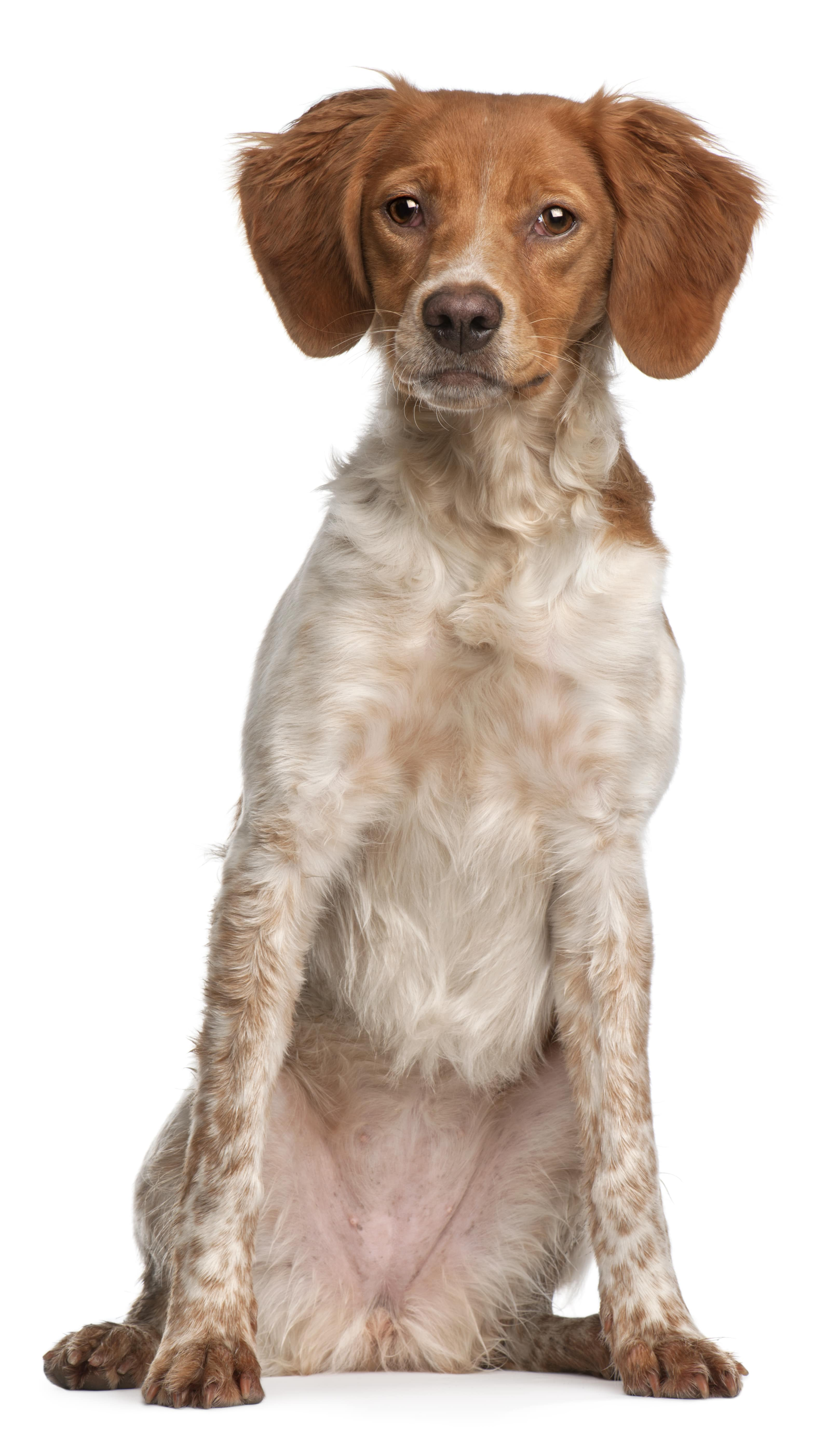 Brittany puppy, 6 months old, sitting in front of white background