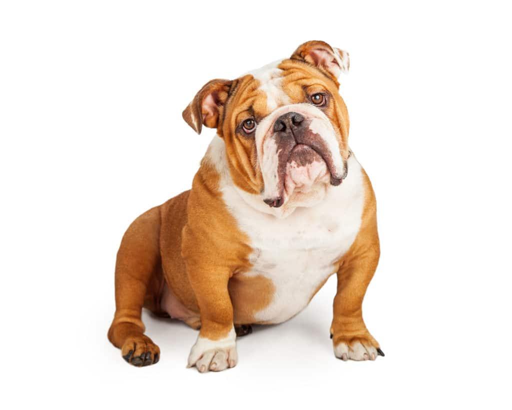 Bulldogs | Cesar's Way