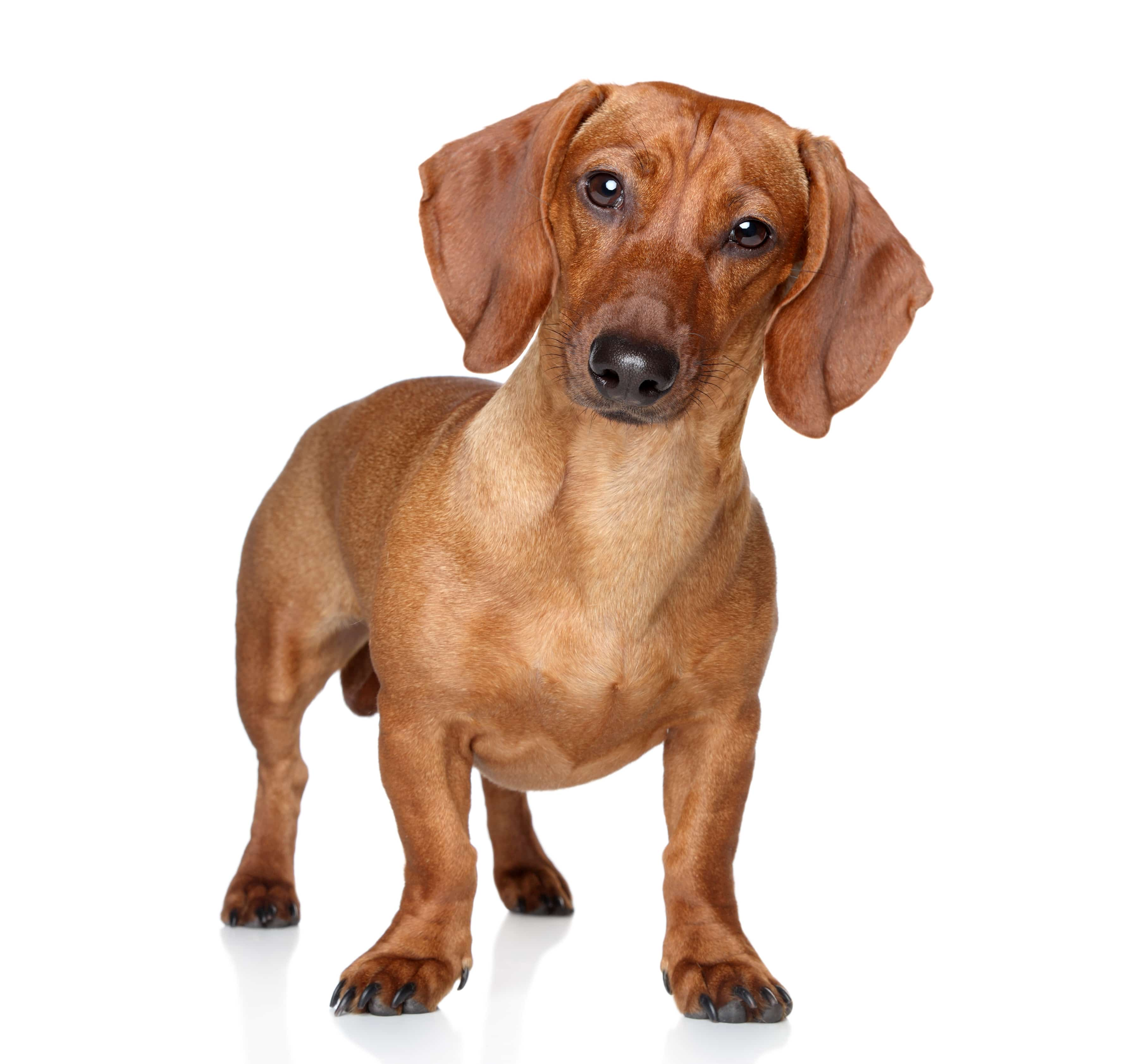 Brown dachshund stand on a white background